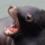 newport sea lion